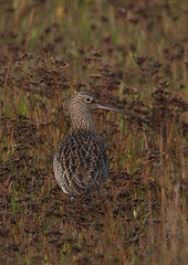 curlew (colin 1957) Tags: nature birds curlew titchwell wader