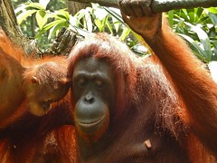 Hairy Mother and Child (mikecogh) Tags: hairy zoo singapore child mother orangutang teat deferential deferent