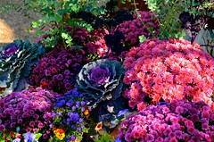 Mum's and Cabbage - Cantigny - Wheaton IL (Meridith112) Tags: pink flowers autumn light shadow flower fall illinois nikon october shadows purple dupage il wheaton mccormick cantigny pinkflowers 2014 dupagecounty cantignypark purplecabbage nikon2485 cantignygardens colonelrobertrmccormick nikond7000 amyirwinmccormick mccormicksmansion mccormickshome mccormickscantignyhome