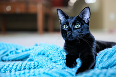 289: Black & Blue (SoCal Mark) Tags: blue pet black cold halloween weather cat project bug october feline day under kitty lucky blanket 16 365 13 sick cough 2014 289 365the2014edition