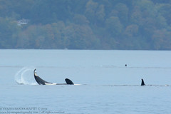Inverted Tail Lob (Hysazu) Tags: dolphins pacificnorthwest whales orca washingtonstate killerwhale orcinusorca cetaceans blackfish salishsea wildwhales nikond7100 nikon80400afs 20150730