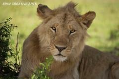 Young male lion! (WhiteEye2) Tags: africa kenya wildlife lion masaimara