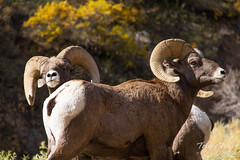 Two handsome bighorn sheep