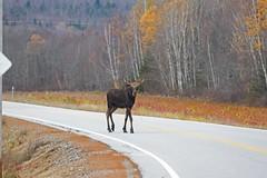 IMG_6479 (lloydsjourney) Tags: autumn wild snow fall nature natural wildlife maine newengland newhampshire moose bull antlers mtwashington rack lloyd alexander bullmoose lloydalexander