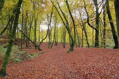 The Carpet (cal 311) Tags: wood trees leaves landscape scotland sony perthshire a77