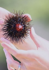 sea urchin (k.guseva) Tags: sea nature greece urchin urchins halkidiki echinoidea