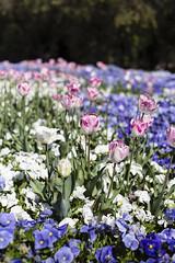 Pink Tulips (oz_lightning) Tags: flower nature garden australia canberra aus act australiancapitalterritory commonwealthpark canonef50mmf18ii canon6d