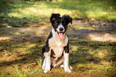 Jasper - Border Collie (Quentin Boullier) Tags: dog chien puppy collie jasper border doggy chiot quentin boder bicolore boullier