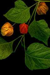 PhotoART with the scanner (scorpion (13)) Tags: autumn plant colour nature garden cherry fun experimental with scanner photoart physalis bladder alkekengi