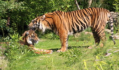 Some Other Tigress (Ger Bosma) Tags: male female tiger together tigers sumatrantiger tigress sumatratiger pantheratigrissumatrae sumatraansetijger tigerlove tigredesumatra 2mg63269