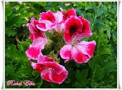 como una gitanilla (akel_lke ) Tags: espaa flower fleur rachel spain europa europe flor olympus raquel murcia blomma bunga blume tiare fiore blte espagne elke virg bulaklak ua lore rakel xay bloem lill blm iek kwiat blodau espinardo lule kukka kembang   cvijet   zieds  gl kvtina kvetina floare   bltezeit regindemurcia  olympusfe340 rakelelke murcianorte ubaxa