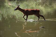 tranquillamente... (carlo612001) Tags: natura guado animali capriolo oasisantalessio