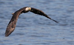 Bald Eagle (frank1556) Tags: eagle bald