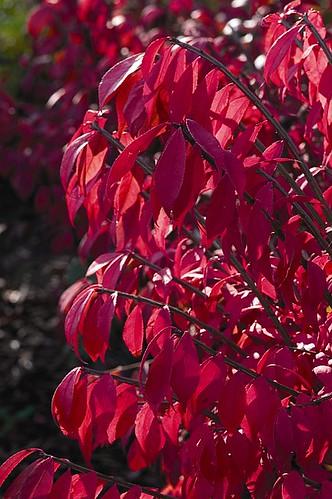Burning Bush for best color!