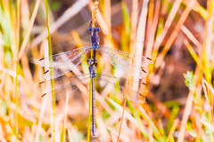 The Wheel And The Season (raypainter) Tags: autumn macro fall nature colors creek outdoors colorado wildlife insects ponds damselfly odonata zygoptera archilestesgrandis greatspreadwing coalcreektrail ef20028l eos70d lehighpark