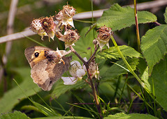 SYSN5640 (stevesyson) Tags: butterfly cornwall kithill