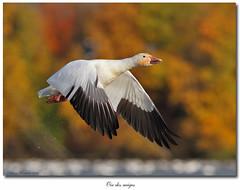 Oie des neiges / Snow Goose IMG_0758 (salmo52) Tags: birds oiseaux victoriaville snowgoose chencaerulescens oiedesneiges oiseauxduquébec réservoirbeaudet salmo52 alaincharette