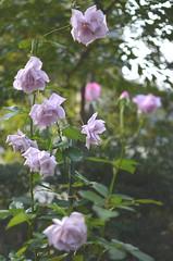lavender rose (*tmk*) Tags: autumn light white flower green beauty rose japan garden bokeh pastel lavender elegant nikkor leafs d5100