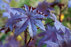 Purple autumn leaves (Heaven`s Gate (John)) Tags: autumn england macro tree nature leaves gardens closeup season botanical birmingham purple 10faves 25faves johndalkin heavensgatejohn