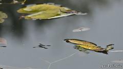 Gliding Between The Leaves (Igor Letilovic) Tags: lake nature water animal forest bug insect nikon jesus floating croatia zagreb insekt priroda crnomerec strider hrvatska suma isus jezero lisce zivotinja klizanje kukac d7000 plutanje