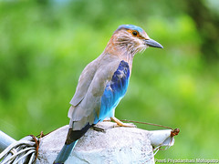 Indian_roller_03 (Jyotiprasads) Tags: birds commonbirds birdsofodisha odishabirds