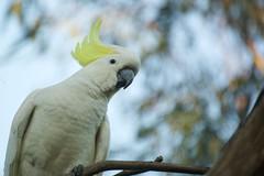 Sulphur-crested Cockatoo (Cacatua galerita) (Derek Midgley) Tags: cockatoo cacatuagalerita sulphurcrested dsc5642