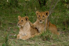 lion brothers (MartynGwhizz Photography) Tags: canon cub kenya lion mara 7d cubs masai 100400