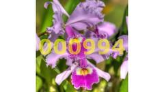 Flickr_000994 (mike_ho_htc) Tags: orchid flower canon eos colombia jose flor orchidaceae cattleya 5d hdr markii orqudea arboleda ef100mmf28macrousm popayn flowersarebeautiful excellentsflowers mimamorflowers flickrflorescloseupmacros josmarboledac blinkagain