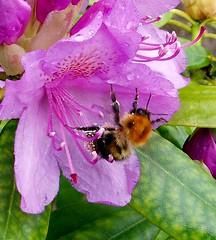 bee Eucera Longicornis drinking in a Carmelia copy (saxonfenken) Tags: flower macro purple bee carmelia 6839 6839flower
