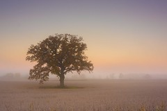 Foggy Fall Sunrise (Kathy~) Tags: michigan fall autumn fog tree onetree field rual puremichigan sunrise ilovefall nature friendlychallenges 15challengeswinner fotocompetitionbronze fotocompetitionsilver instagram