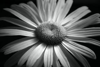 Elegant Daisy {Explore}