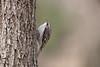 Brown Creeper (Certhia americana) (Anders Illum) Tags: newyork bird canon unitedstates ithaca canoneos sixmilecreek browncreeper certhiaamericana certhia canonef70200mmf40lusm canon400d træløber