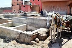 Marrakesh Tanneries (ShaunMYeo) Tags: morocco maroc marrakech marrakesh marruecos marokko marrocos fas marokas marokk maroko   marrakeshtanneries