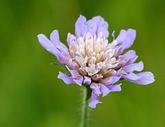 Small Scabious (scabiosa columbaria) (celerycelery) Tags: flowers plants plant flower nature garden purple gardening horticulture purpleflower purpleflowers plantsandflowers
