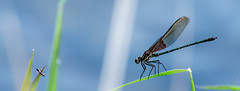 Damselfly thinking of breakfast, Mukwonago, WI. Sep. 2014