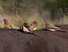 Red-Billed Oxpecker - Buphagus erythrorhynchus - Rotschnabel-Madenhacker (jaffles) Tags: nature southafrica wildlife natur olympus safari np südafrika kruger krugernp