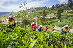 Tea industry in Sri Lanka (www.iamalexbrown.wordpress.com) Tags: horizontal female workers women international driver srilanka organic fairtrade teafactory pickers teafields teapickers alexanderbrown heritance teaplatation
