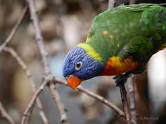 Allwetterzoo Mnster - Gebirgslori (AchimOWL) Tags: animals zoo tiere mnster nahaufnahmen
