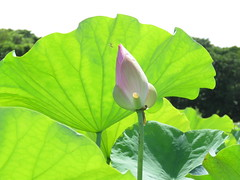 pink and green (oneroadlucky) Tags: pink plant flower green nature waterlily lotus
