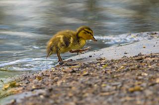 Caneton Colvert / Mallard duckling