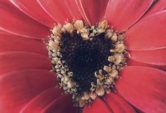 Love always (jilllian2) Tags: macromonday heart macro red valentine iphone7plus love olloclip flower daisy gerberadaisy