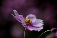 Pink windflower (Maureen Pierre) Tags: japanese windflower pink flower garden