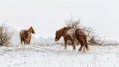Seguimi (Luc1659) Tags: neve cavallo abruzzo tormenta horses ruby15 ngc npc