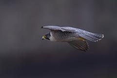Peregrine falcon (cliveyjones) Tags: peregrine peregrinefalcon falcon