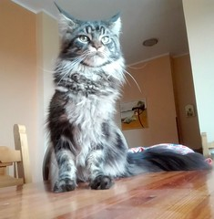 Young brown tabby Maine coon male (romeosilverpersian) Tags: mainecoon mainecoons maineshag coonie coonies cats catphotos catbreeds purebredcats baloo tabbycats kitten kitty kittens pet pets animalidomestici