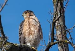Cooper's Hawk in the Backyard (imageClear) Tags: raptor bird close hawk coopershawk tree perch sheboygan wisconsin aperture nikon nature d500 80400mm imageclear flickr photostream