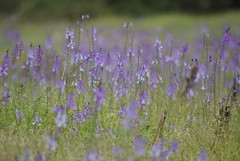 Bloom (borneirana) Tags: flores flower bloom spring primavera frores lila malva violeta purple colours blume landscape landwirtschaft paisaxe paisaje aire libre colourful green