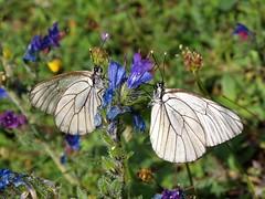 Aporia crataegi (J Carrasco (mundele)) Tags: pndeordesaymonteperdido huesca pirineos insectos mariposas rhopalocera pieridae aporia