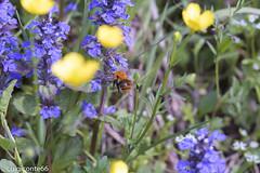 primavera (conteluigi66) Tags: luigiconte fiori giallo gialli blu blue azzurro campo verde erba grass gerrn ape insetto bee insect natura nature