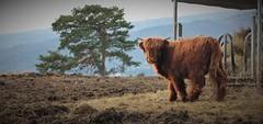 highland (olivierkaminski) Tags: aurec sur loire rhône alpes france nature star highland flickr estrellas otw